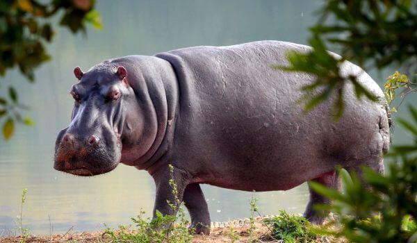 Фото: Животное гиппопотам