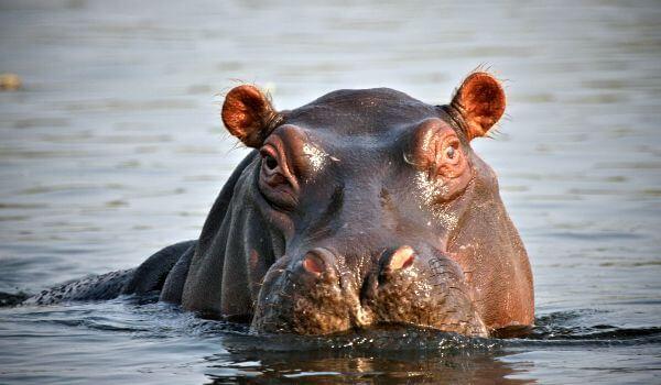 Фото: Гиппопотам в воде