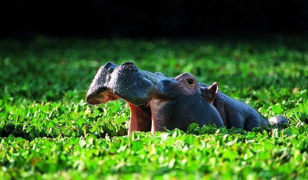 Фото: Гиппопотам в Африке
