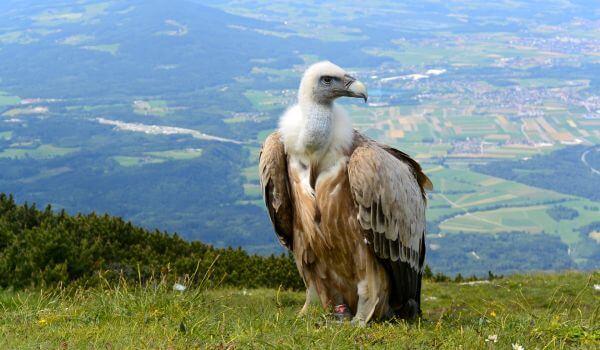 Фото: Птица гриф