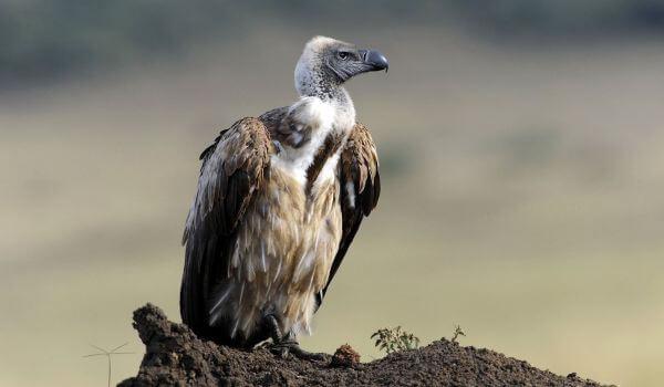 Фото: Африканский гриф