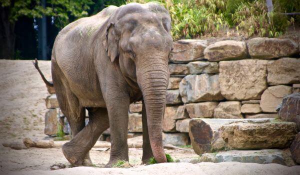 Фото: Индийский слон Красная книга