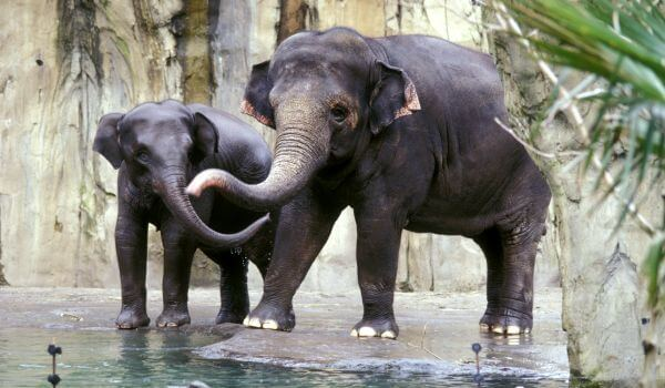 Фото: Индийский слон животное