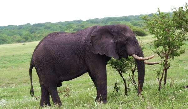 Фото: Животное индийский слон
