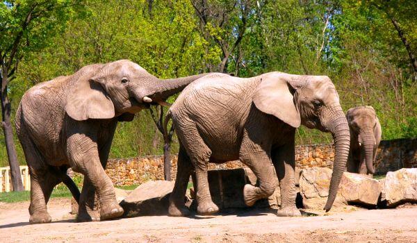 Фото: Азиатские индийские слоны