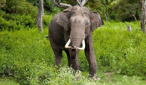 Фото: Индийский слон