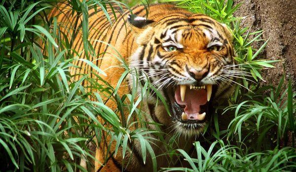 Фото: Индокитайский тигр животное