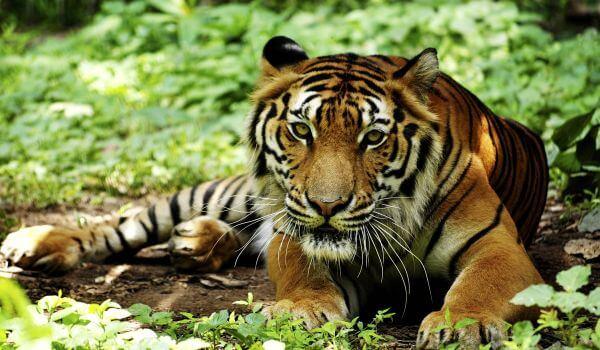 Фото: Животное индокитайский тигр