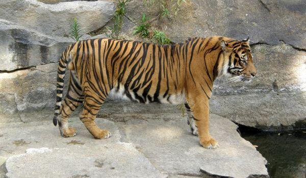 Фото: Индокитайский тигр