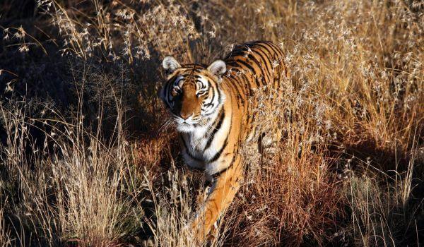 Фото: Индокитайский тигр в природе