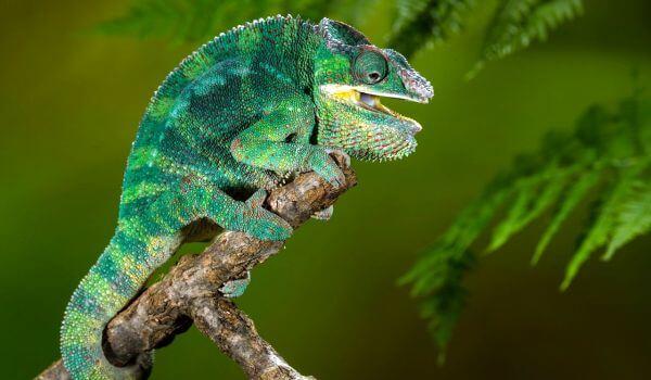 Фото: Йеменский хамелеон самец