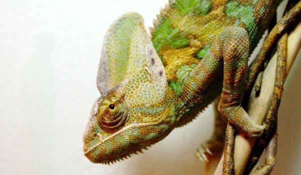 Фото: Йеменский хамелеон Красная книга