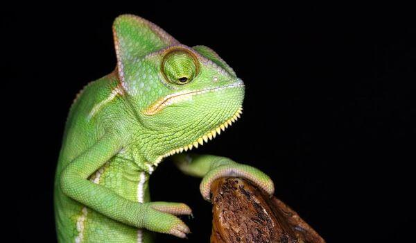 Фото: Животное йеменский хамелеон
