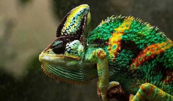 Фото: Йеменский хамелеон