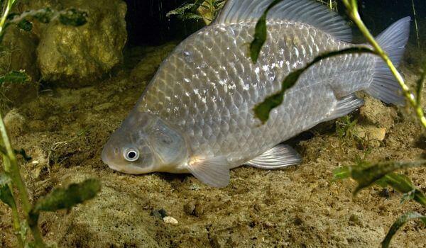 Фото: Речная рыба карась