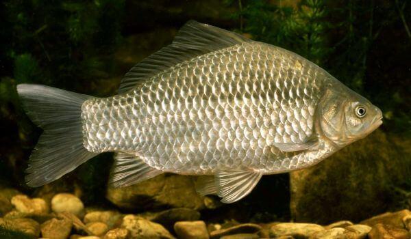 Фото: Большая рыба карась