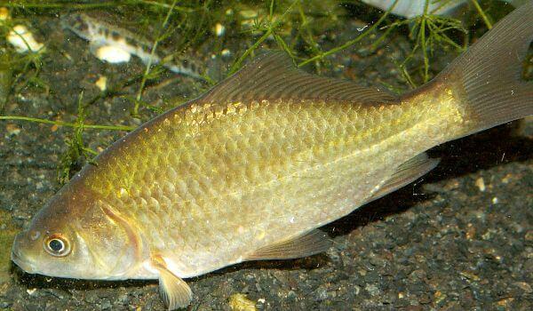 Фото: Рыба карась