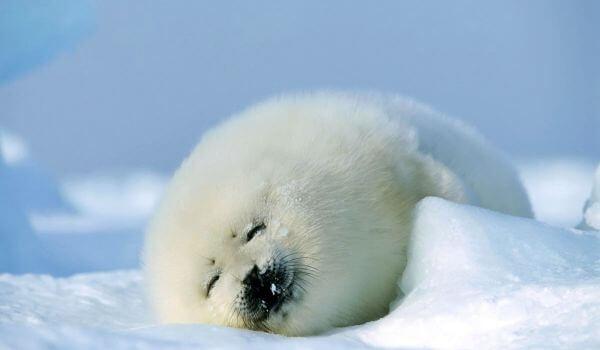 Фото: Каспийский тюлень