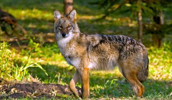 Фото: Американский койот