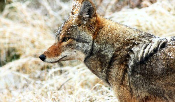 Фото: Северный койот