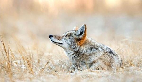 Фото: Животное койот