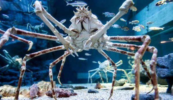 Фото: Большой краб паук