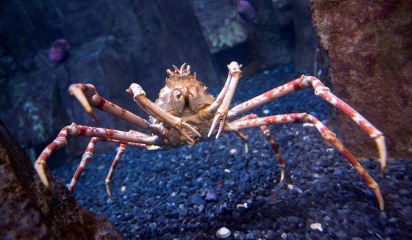 Фото: Морской краб паук