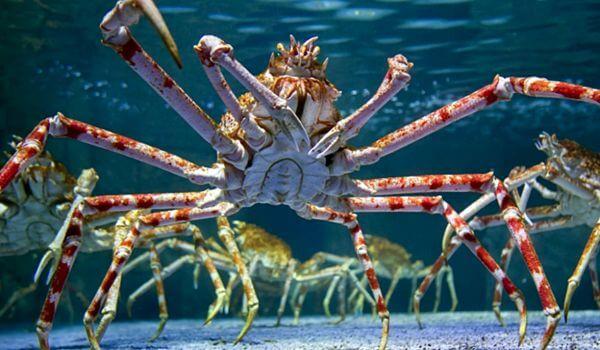 Фото: Японский краб паук