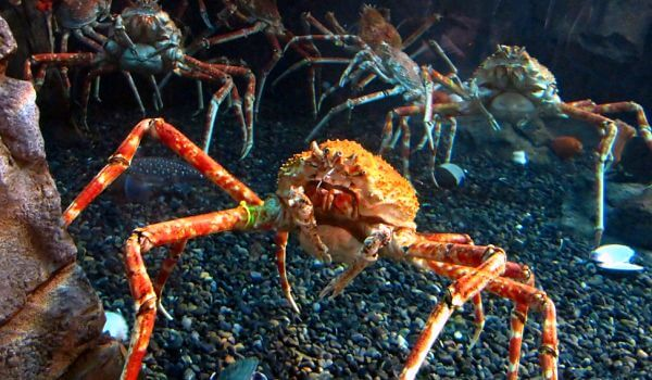 Фото: Красный краб паук
