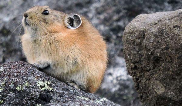 Фото: Животное лемминг
