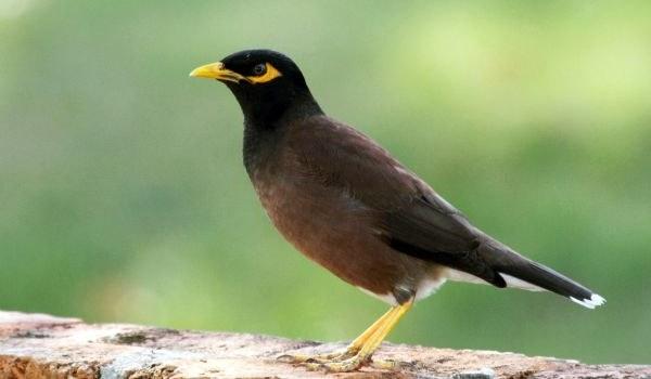Фото: Птица майна