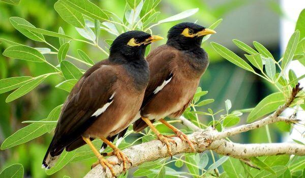 Фото: Птицы майны