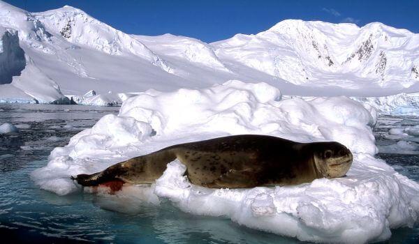 Фото: Морской леопард животное