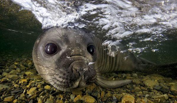 Фото: Тюлень морской леопард