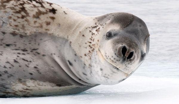 Фото: Морской леопард Антарктида
