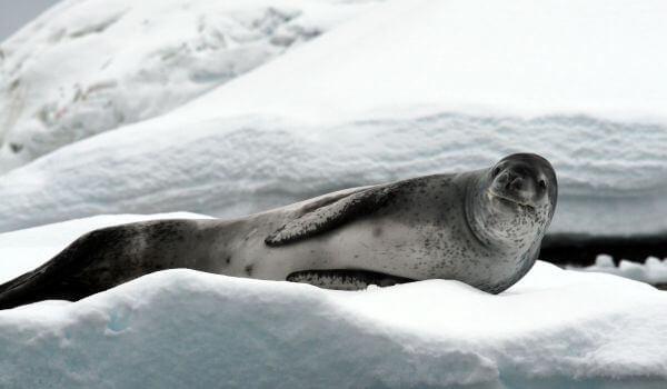 Фото: Морской леопард
