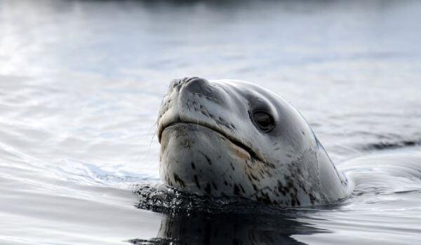 Фото: Животное морской леопард