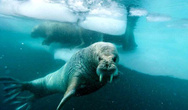 Фото: Морской морж