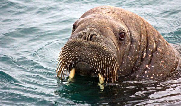 Фото: Животное морж