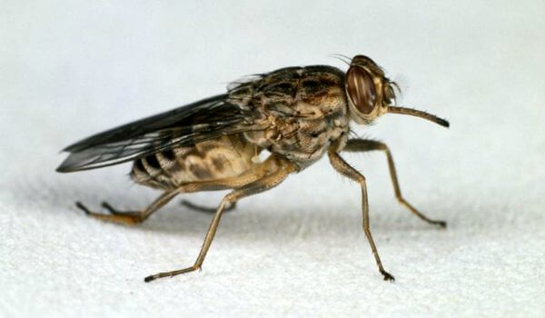 Фото: Насекомое муха цеце