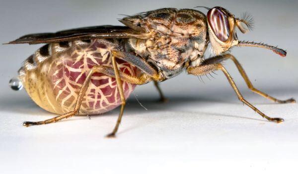 Фото: Муха цеце насекомое