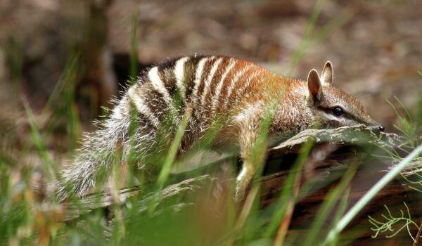 Фото: Намбат животное