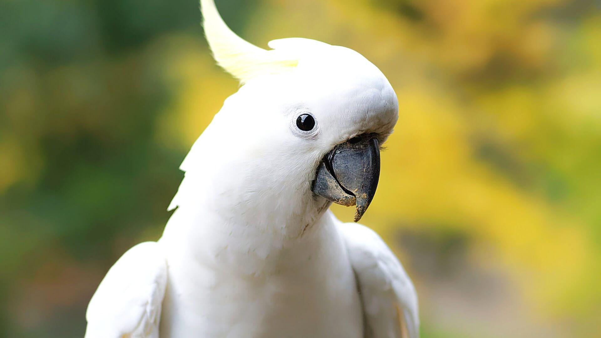 Картинки попугайчика какаду