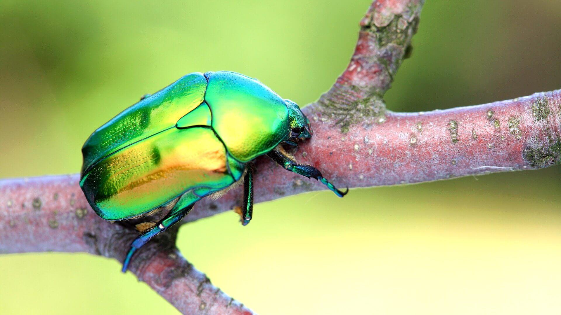 Жук бронзовка: особенности, личинка и вред зелёного жука