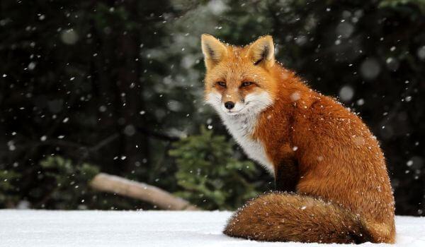 Фото: Животное лисица обыкновенная