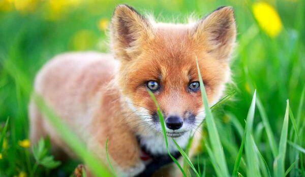 Фото: Детеныш лисы