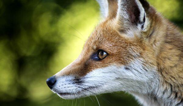 Фото: Лисица рыжая обыкновенная