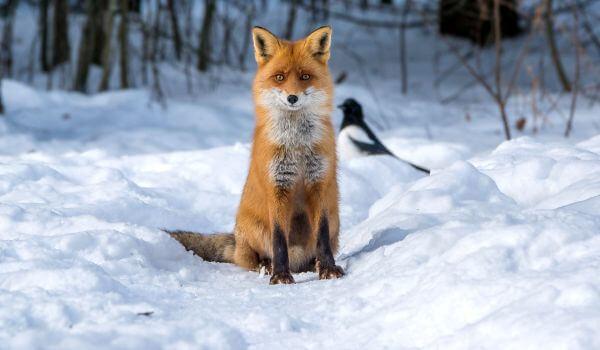 Фото: Животное обыкновенная лисица