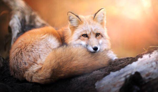Фото: Лисица обыкновенная хищное животное