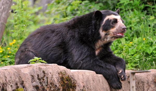 Фото: Животное очковый медведь